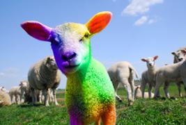 colored sheep